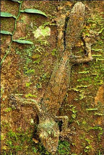 مارمولکی که خود را شبیه به پوست ساقه یک درخت کرده است-www.tudartu.ir