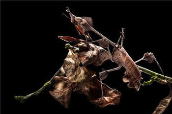 یک آخوندک ویلونی به طرز غیرقابل تشخیصی خود را در میان برگهای خشک پنهان کرده است-www.tudartu.ir