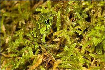 قورباغه در میان خزههای پارک ملی شبه جزیره ماسوالا-www.tudartu.ir