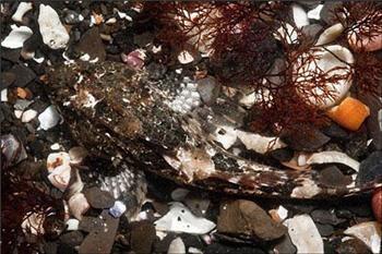 عقرب دریایی در لابه لای شن و ماسهها و خرده صدفهای ساحل-www.tudartu.ir